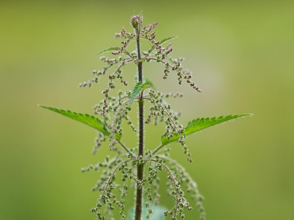 Die Brennnessel eine vielseitige Wild- und Heilpflanze