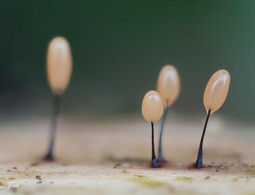 diverse Myxomyceten / Schleimpilze